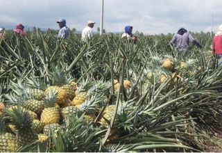 Pineapple workers